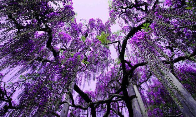 Virágba borultak Japán csodálatos lilaakácai is