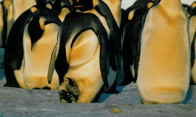 Szomorú oka is lehet annak, hogy rekordidőt töltött a víz alatt egy pingvin