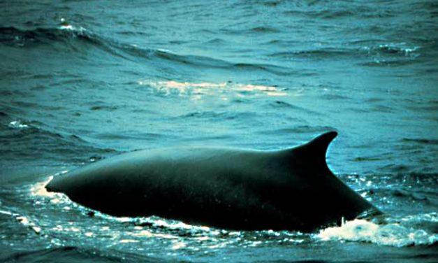 Ismét bálnamészárlásba kezdenek az izlandiak