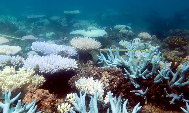 A hőhullámok megfőzik a Nagy-korallzátony koralljait