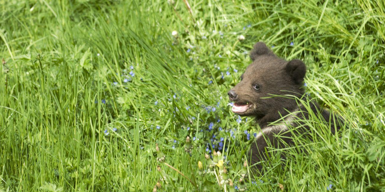 Kirándulók találkoztak medvével Jósvafő közelében