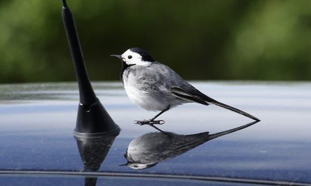 Elkezdődött a saját tükörképüket támadó madarak időszaka