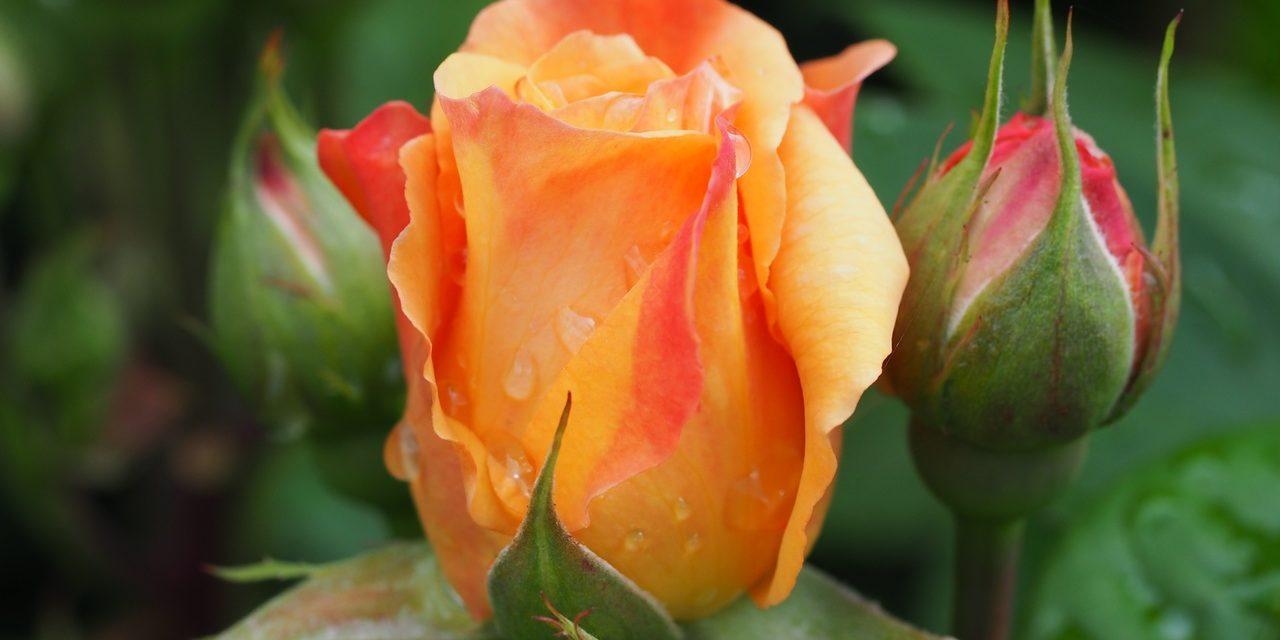 Tavaszi rózsametszés – most!