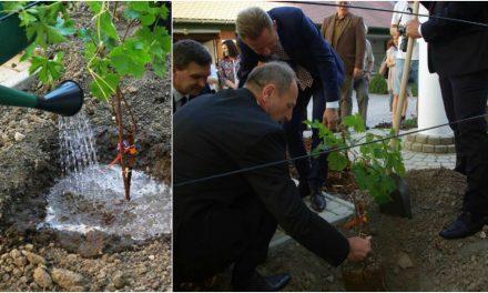 A világ legöregebb szőlőjének oltványát ültették el Szekszárdon