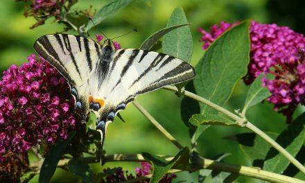 10 pillangócsalogató növény