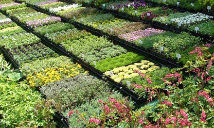 Kertészek karácsonya: virágvásár most hétvégén