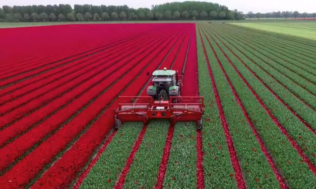 Traktorral a tulipánosba?