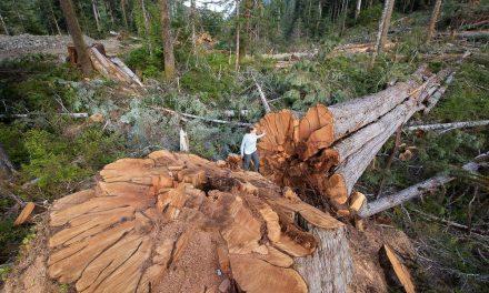 Nem csak nálunk védenénk a fákat, de hiába
