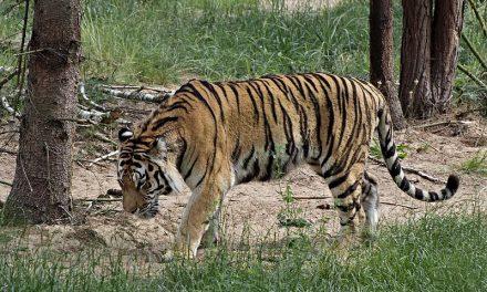Javul Igor, a tigris állapota, akit saját őssejtjeivel kezeltek