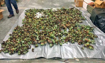 Kövirózsa krízis Kaliforniában: több ezer tő növényt lopnak el a csempészek