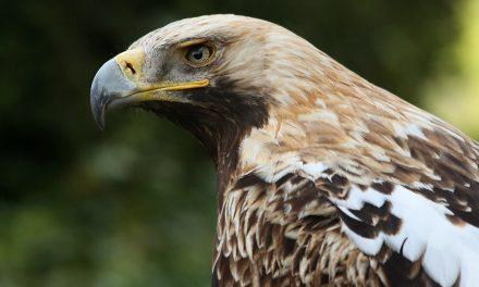 Natura 2000 díjat nyert a parlagi sasokat védő magyarországi projekt