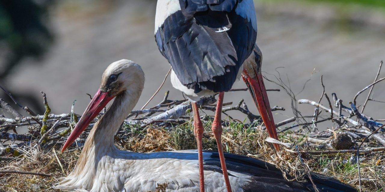 50 év után tértek vissza a gólyák Szárra
