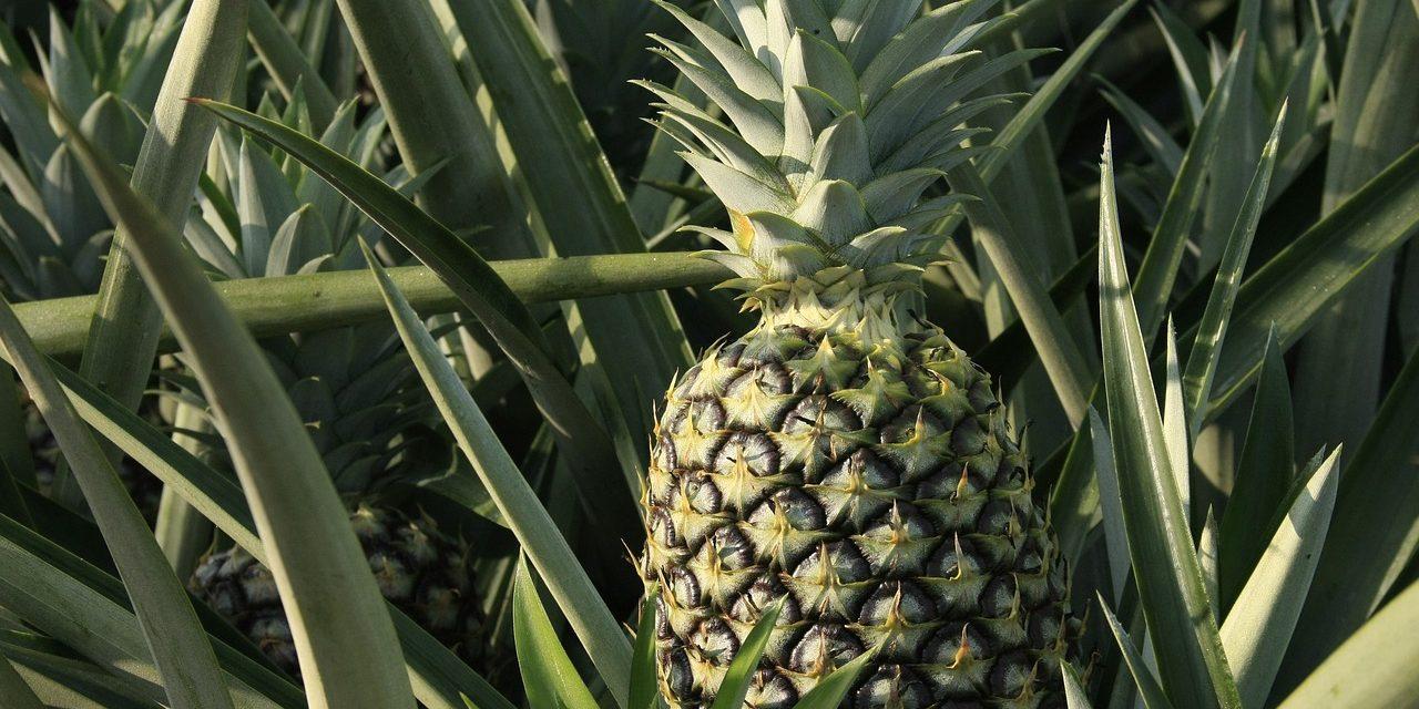 Az ananászbetakarítás kínkeservei