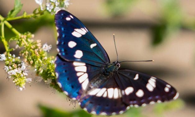 Kis szerencsével megnézheted, hogyan kelnek ki a pillangók az állatkertben
