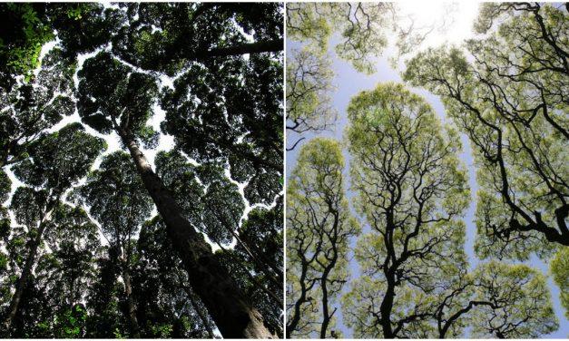 Fák, amik sosem érnek össze egymással