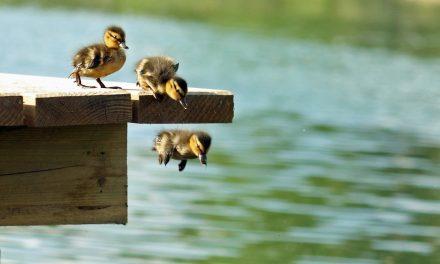 Így ugranak bele a kiskacsák a nagybetűs életbe (a hét legcukibb videója)