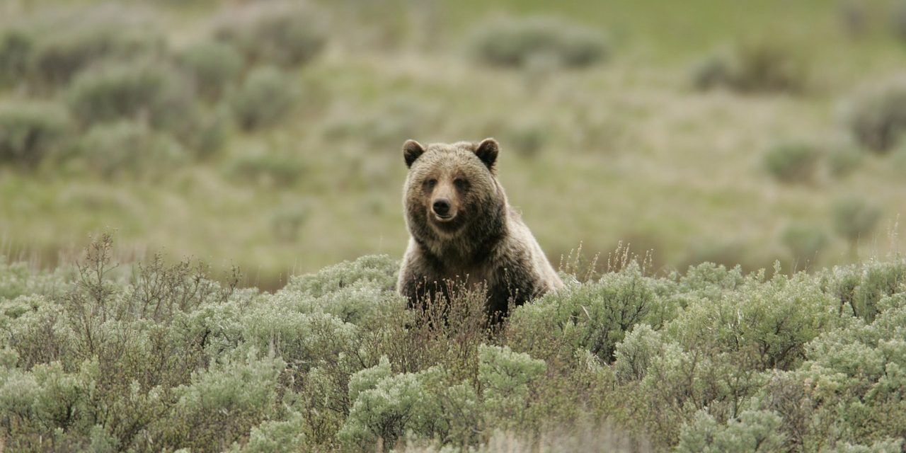 44 év után ismét lőhetnek trófeavadászok a Yellowstone grizzly medvéire
