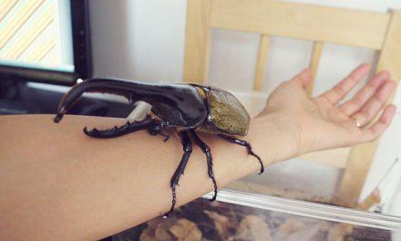 Vajon mekkora lárvája van egy ekkora bogárnak?