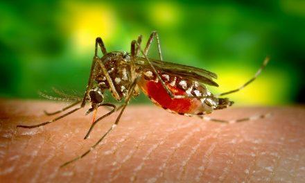 Súlyos betegséget is okozhatnak a Pécsen megjelent koreai szúnyogok