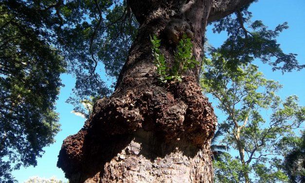 Mik azok a göcsörtök a fán és hogy lesz belőlük sárkánytojás?