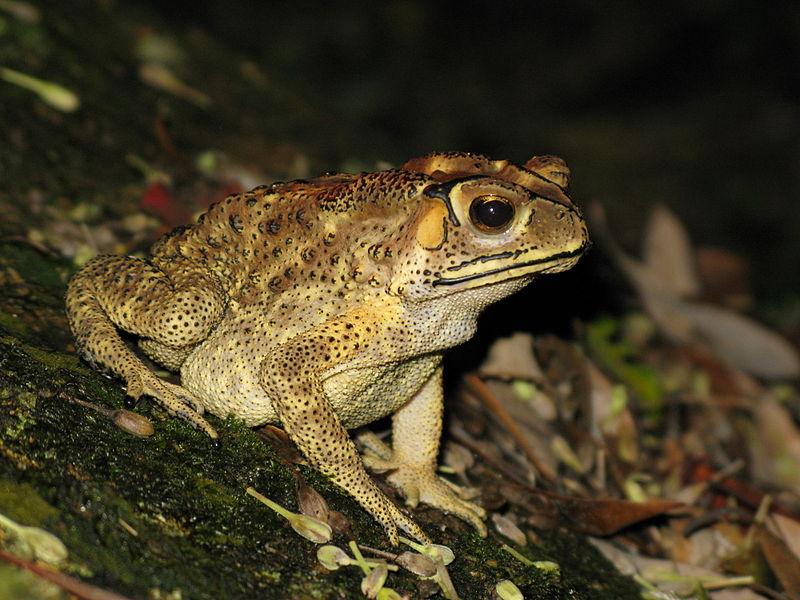 Mérges varangyok fenyegetik Madagaszkár állatvilágát