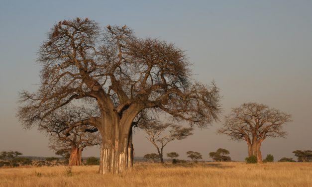 Évezredes fákkal végzett a klímaváltozás