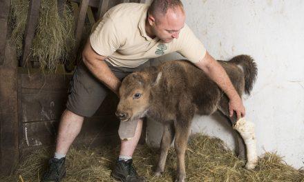 Gondozók nevelik a Nyíregyházi Állatpark egyik európai bölényét