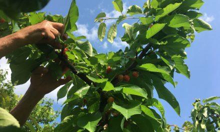 A gyümölcsfa nem fa