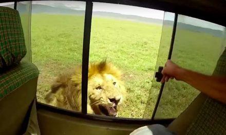 Oroszlánt akart simogatni a szafarin, majdnem tragédia lett a vége (videóval)
