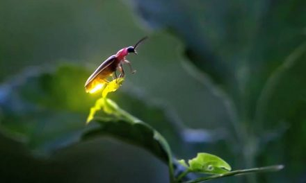 10 elképesztő dolog, amit nem tudtál a szentjánosbogárról