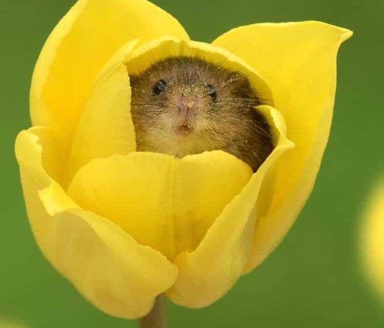 A kártevő másik arca: kisegér a tulipánban