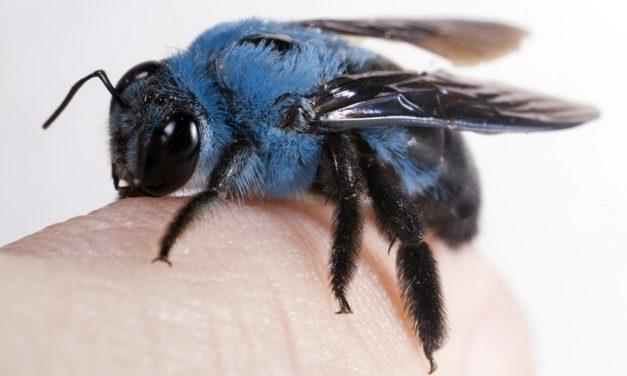 Láttál már kék méhecskét?