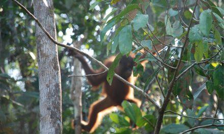 Drámai felvétel készült arról, ahogyan egy orangután védi élőhelyét egy buldózertől