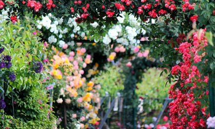 Rózsaünnepet tartanak szombaton a fertődi Esterházy-kastélyban