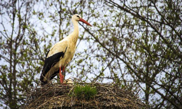 Tojásait vagy fiókáit védhette a szitává lőtt gólya