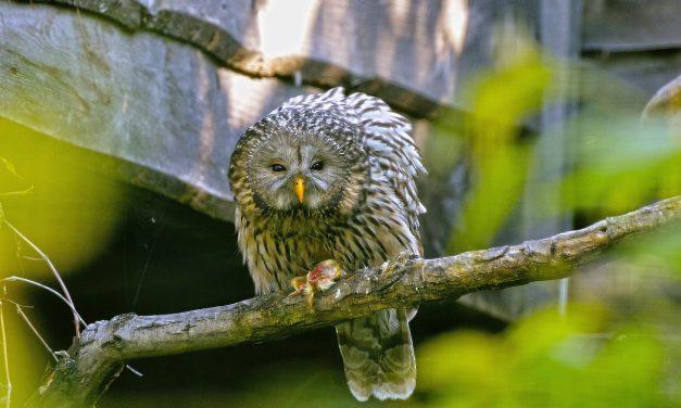 Állatkertben és tenyésztőközpontban kikelt baglyokkal telepítik tele a Bécsi Erdőt