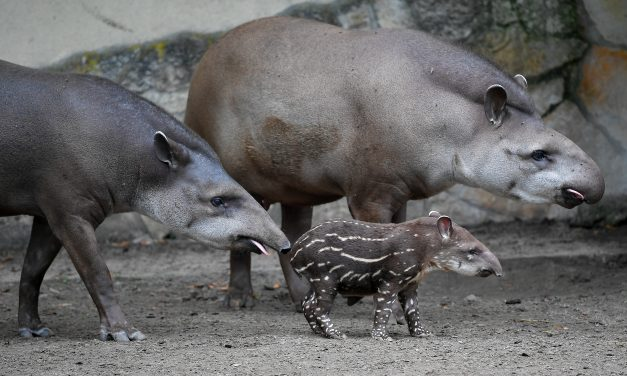 Tüneményes tapírbébi született a debreceni állatkertben