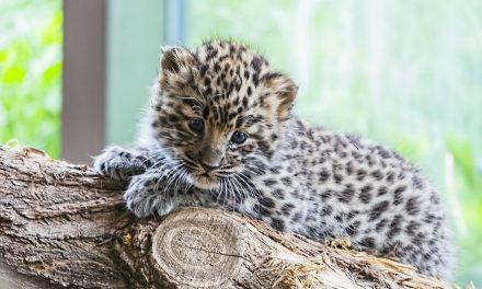 Már csak 84 amuri leopárd él a vadonban