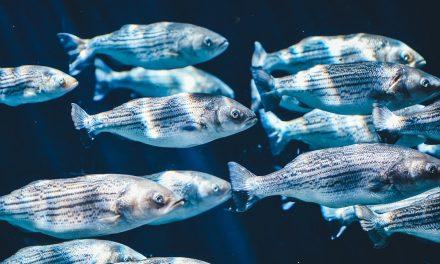 Az óceánok savasodása miatt romlik a halak szaglása, egyre több faj kerül végveszélybe