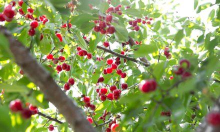 Egy gyümölcsfa, amelyben nem lehet csalódni: a cseresznye!