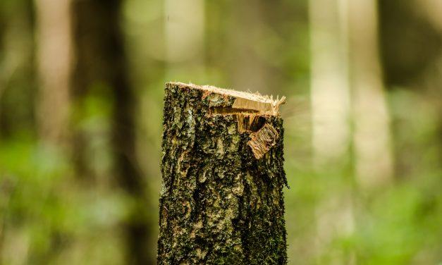Természetvédő civilek tiltakoznak a pilisborosjenői fakivágások miatt