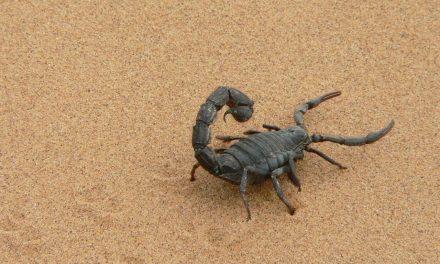 Az erdőirtások miatt elszaporodtak a veszélyes skorpiók a brazil városokban