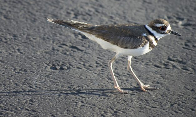 Védett madár miatt csúszhat egy fesztivál Kanadában