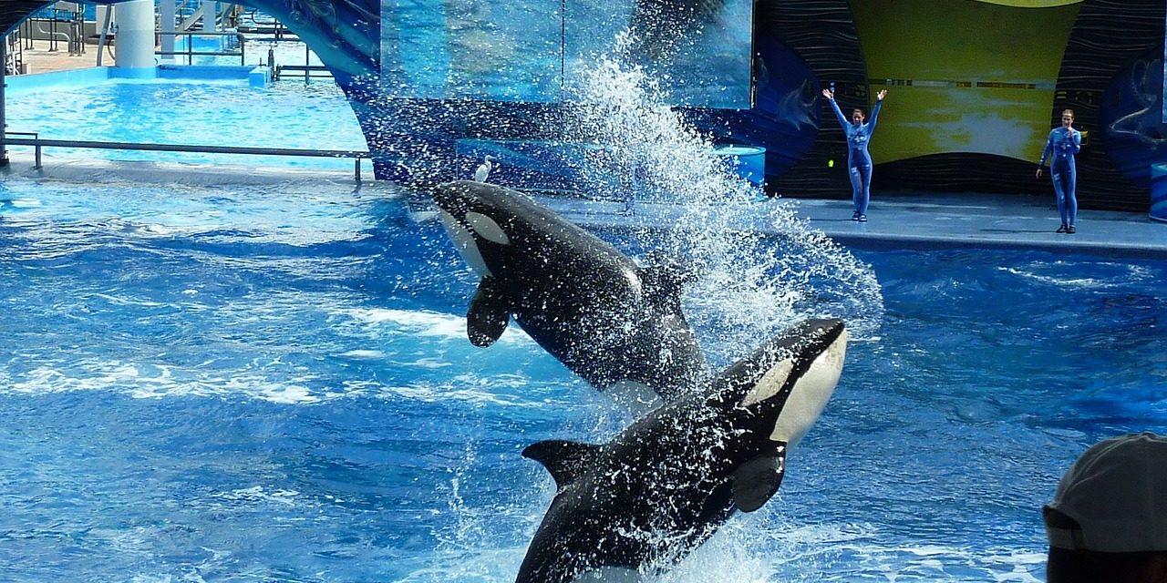 Nem működik együtt a kardszárnyú delfineket tartó parkokkal egy neves brit utazási iroda