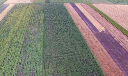 Öthektáros kukoricatáblában épült útvesztő Kiszombornál