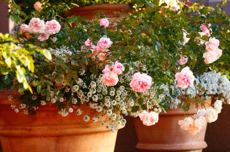 Ha unod a muskátlit: ültess mini rózsát az erkélyedre vagy a kertbe!