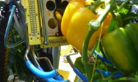 Itt a világ első paprikaszedő robotja
