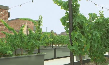 Szőlőültetvényeket hoztak létre New York-i háztetőkön