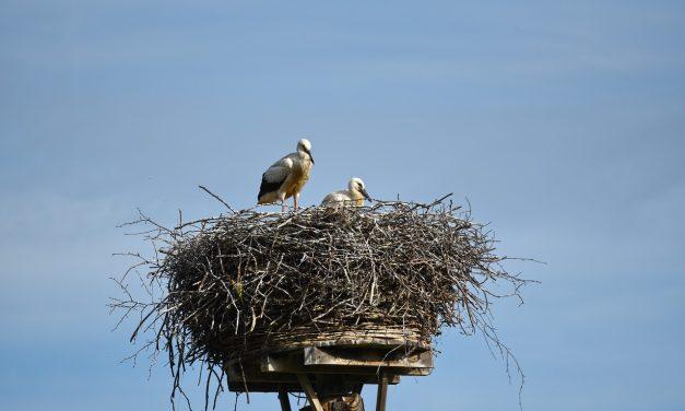 Szokatlanul magasan fészkelő gólyacsaládot regisztráltak Erdélyben