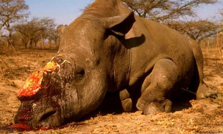 12 millió dollárnyi levágott rinocérosz szarvat foglaltak le